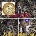 beagles filhotes df