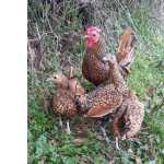 ovos varias raças para incubação