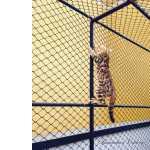 Gato Bengal - Lindos Filhotes