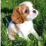 lindo Cavalier King Charles Spaniel cachorro
