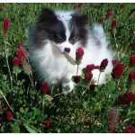 Giesa Pomeranian Puppy À procura de novas casas