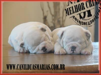 filhotes bulldog inglês  - Canil Duas Marias
