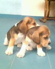 APROVEITE - Lindos Filhotes de Beagle em PROMOÇÂO