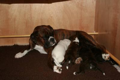 Filhotes de Boxer em Várias Cores