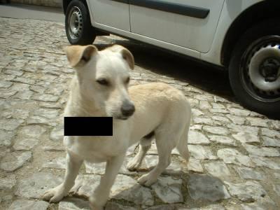 ADOPTADO Encontrado cão porte pequeno - Setúbal