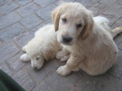 GOLDEN RETRIEVER  Filhotes Com Pedigree