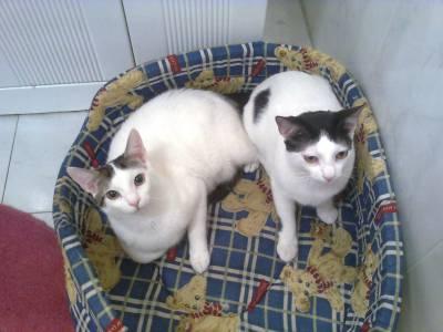 gatinhos brancos lindos