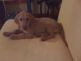 Perdi cachorro Cascais Oito de Agosto