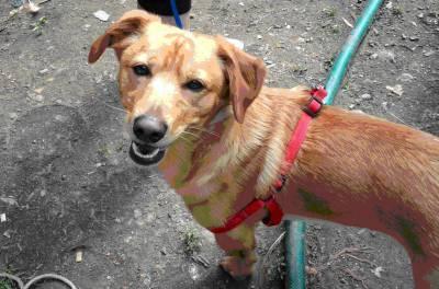 Busca-se cão de cor castanha com coleira vermelha