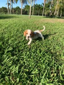 Filhotes Beagle miniatura
