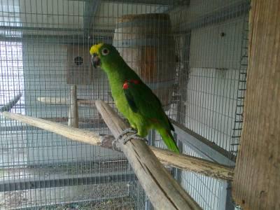 VENDO cinco papagaios e duas Araras Maracaná