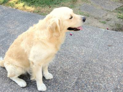 Procuro cadela Golden Retriever para acasalar