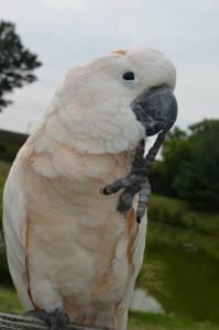 Papagaios araras cacatuas