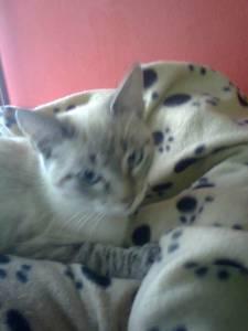 Kiko gatinho raçado de siamês