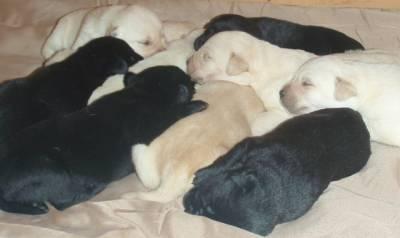 Lindos Labradores Retriever com LOP