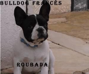 Bulldog Francês ROUBADA