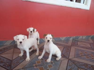 Filhotes de Boxer Branco e Brasília