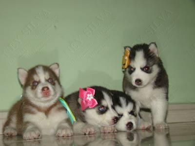 filhotes de husky em varias cores