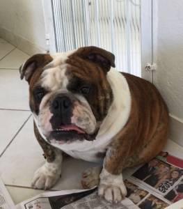 Filhotes de Bulldog Inglês com excelente pedigree