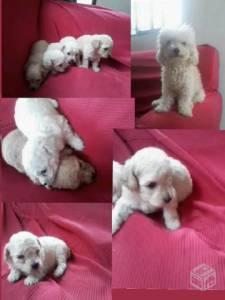 Filhotes de Poodle Micro Toy Brancos ou Caramelos