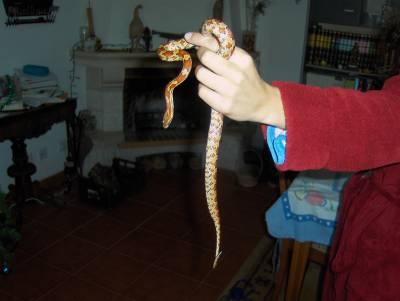 Cobra do Milho com Terrário