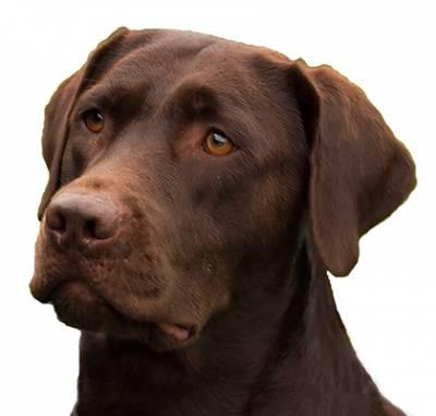 Labrador Chocolate para Montas