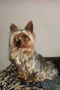 Yorkshire Terrier Super Miniatura