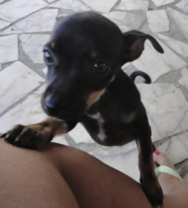 Desaparecido cão PINSCHER - Milagres