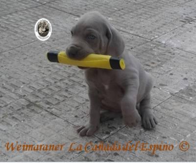 EXCELENTE CAMADA DE WEIMARANER
