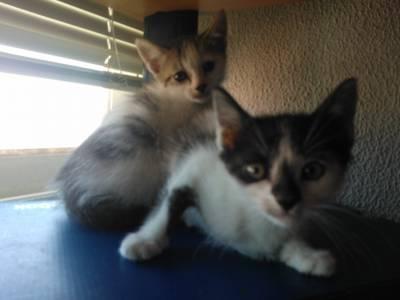 Gatinhos bebés para adopção
