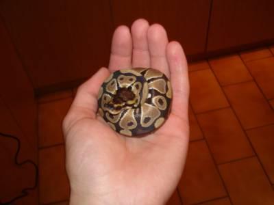 Python Regius deste ano