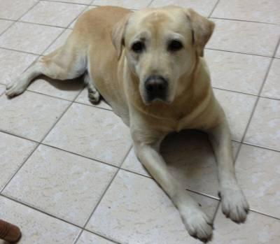 Labrador Macho procura namorada