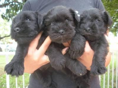 belissimos filhotes de schnauzer preto