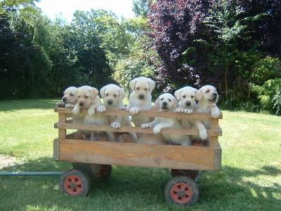 labradores retriver com pedigre