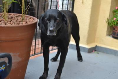 Labrador preto procura uma namorada