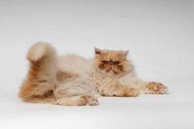 Gato persa macho puro procura namorada