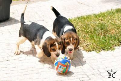 BEAGLE - Cachorros disponíveis