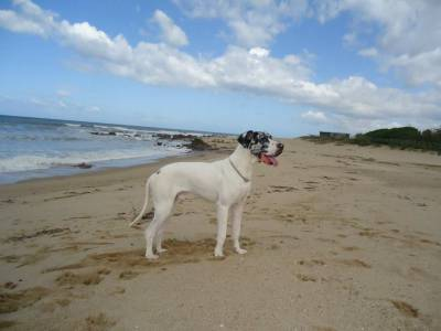 Macho da raça Dog alemão procura namorada
