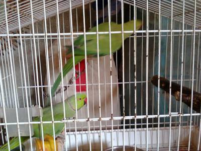 Casal Ring necks verdes Anilhados reprodutore