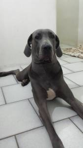 Dogue Alemão Azul Fêmea