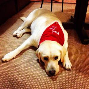 Labradora Bege procura namorado