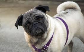 Adopto Pug