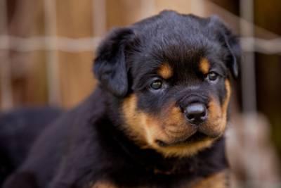 Rottweiler - Ninhada Altamente Selecionada