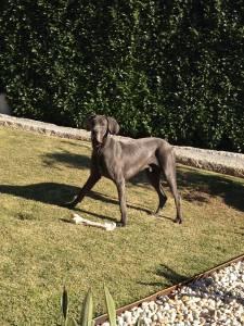 Dogue Alemão Azul procura namorada - Braga