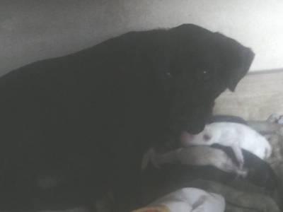 Dá-se cachorros rottweiler x espanhol breton