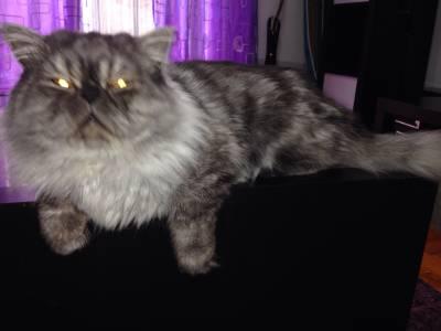 Gato persa procura namorada zona de lisboa