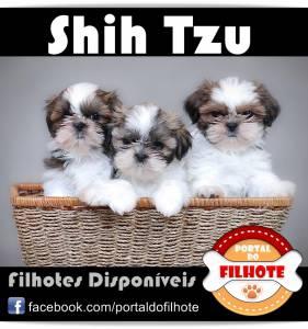 ShihTzu - Portal do Filhote RS
