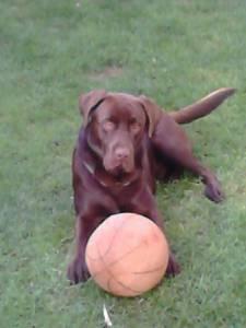 Labrador castanho chocolate para acasalar