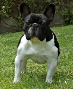 Bulldog Francês Disponível Montas
