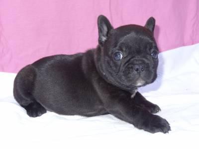 Filhotes Bulldogue Francês